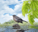 Royalty Free Photo of a Young Blackbird Sitting On A Stone