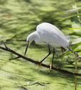 Snowy Egret Fishing In Circle B Bar Reserve,Florida
