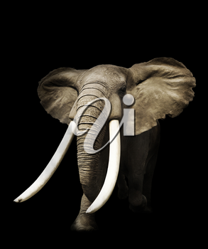 African Elephant On Black Background
