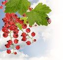 Red Currant With Leaves Against A Sky