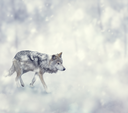 Wolf Walking on The Snow