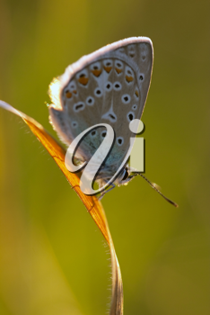 Polyommatus icarus in the morning light