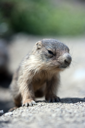 A cute baby marmot close-up