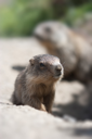 baby marmot and mother