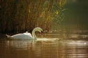 White swan on a lake in autumn