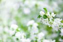 Royalty Free Photo of an Apple Tree Blossom
