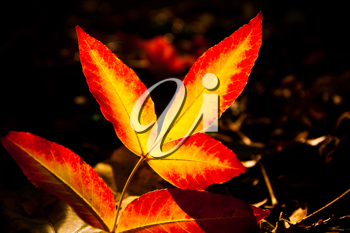 Royalty Free Photo of an Autumn Leaves