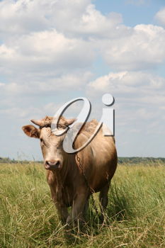 Royalty Free Photo of a Bull in a Field