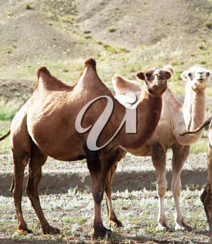 Royalty Free Photo of Camels