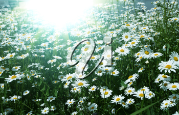 Royalty Free Photo of a Field of Chamomile