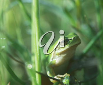 Royalty Free Photo of a Frog