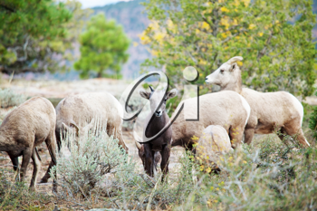 Royalty Free Photo of a Herd of Goats