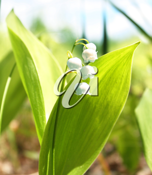 Royalty Free Photo of a Lily of the Valley