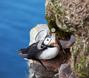 Royalty Free Photo of a Puffin