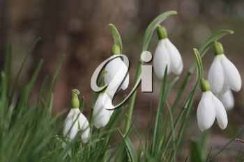 Royalty Free Photo of Snowdrop Flowers