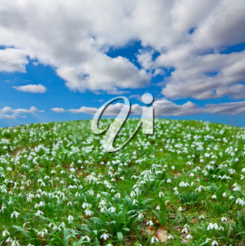 Royalty Free Photo of Snowdrop Flowers in a Field