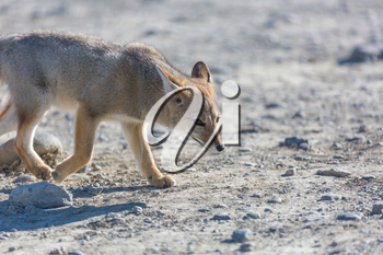 South American gray fox (Lycalopex griseus), Patagonian fox, in Patagonia mountains
