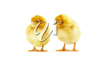 Royalty Free Photo of Baby Chickens