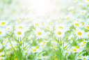 Royalty Free Photo of a Field of Chamomiles