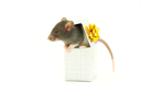funny rat in box  isolated on white background