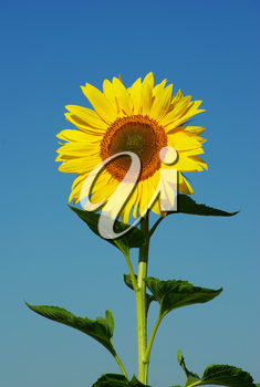 yellow sunflower and blue sky background