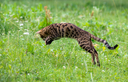 The cat runs on a lawn