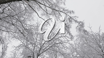 Winter forest during a snowfall, slow motion.