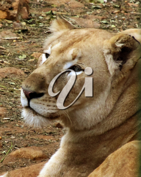 Royalty Free Photo of a Lioness
