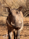 Royalty Free Photo of a Warthog