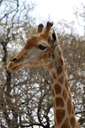 Side Profile Picture of the Head of a Large Grown Giraffe