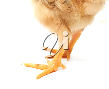 small chicken legs on a white background