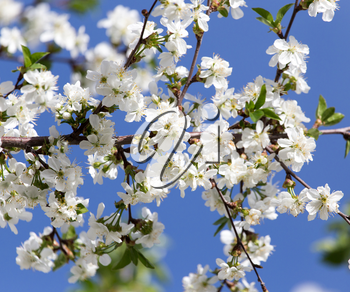 white flowers on a tree against the blue sky
