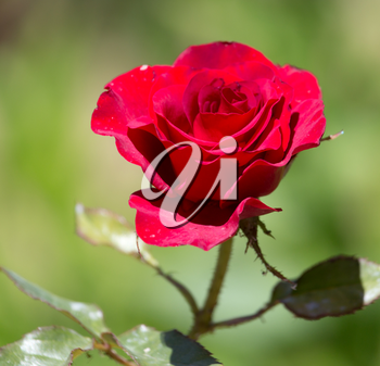 red rose in nature