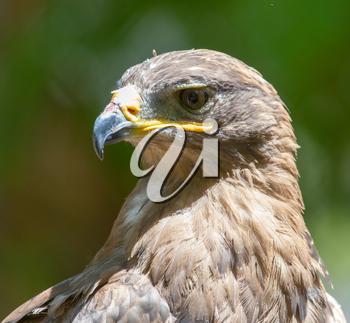 Portrait of an eagle in nature