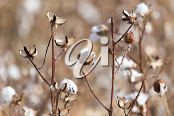 Big cotton buds bloom on a blurred background