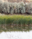 green reeds in a lake in nature