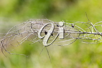 dry thorn in nature