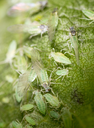 Aphids on a leaf in the nature. macro