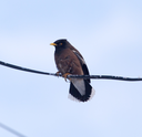 Starling on a wire against a blue sky
