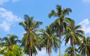 green coconut palm against blue sky background