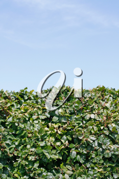 Royalty Free Photo of a Green Hedge