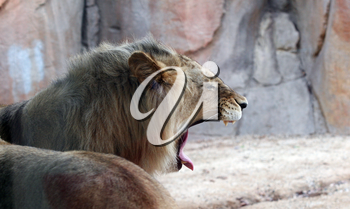 Royalty Free Photo of a Lion Yawning