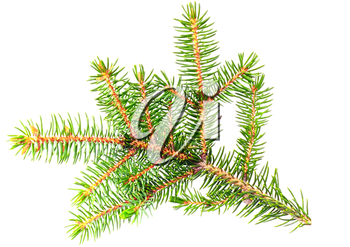 Fresh green fir branches .Isolated on white background