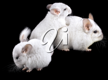Family  of white ebonite chinchilla on black background.