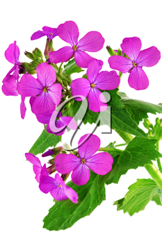 Beautiful violet flower.Closeup on white background. Isolated.
