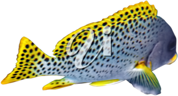 Blackspotted sweetlips. Isolated  over white