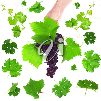 Collage(set) of various grapes with foliage. Isolated over white