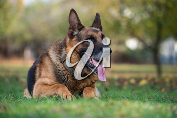 German Shepherd Alsatian Police Dog