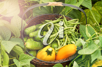 Basket of green beans, cucumbers and zucchini in farm field during bright day. Added light haze effects.