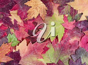Autumn rustic colorful maple leaves background in filled frame layout